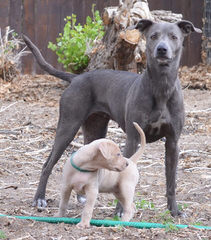 Blue Lacey/Walker Pups - Dog Breeders