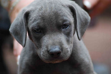 American Blue Lacys - Dog Breeders