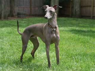 American Blue Lacy Dogs - Dog Breeders