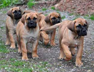 Redland Boerboels - Dog Breeders