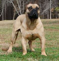 MaeBoerboel - Dog Breeders