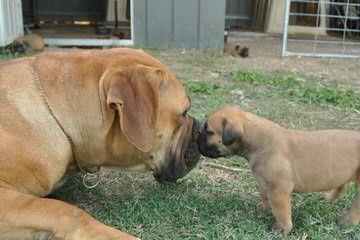 MeyerBlue Kennels - Dog Breeders
