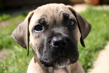 Dream Team Kennels - Dog Breeders