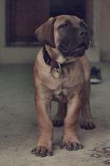 Maeboerboel - Dog Breeders