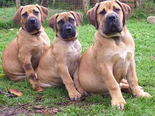 STL Boerboels - Dog and Puppy Pictures