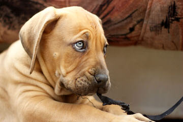 Great Lakes Boerboels-Puppies Available - Dog Breeders