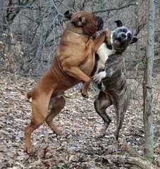 Great Lakes Boerboels - Dog Breeders