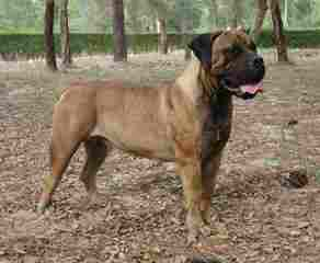 King Of The Cages Kennels Boerboel - Dog Breeders