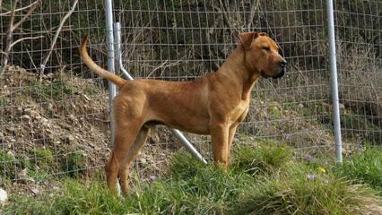 Hard Rock Boerboels - Dog Breeders