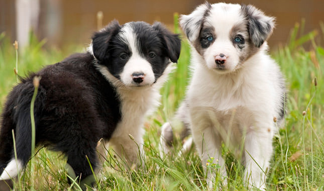 Border Collie Dogs and Puppies