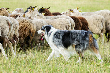 Highland Kennels Border Collies And Australian Kelpies. - Dog Breeders