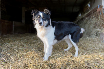 Border Collie Pups - Dog Breeders