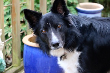 Border Collies For Sale - Dog Breeders