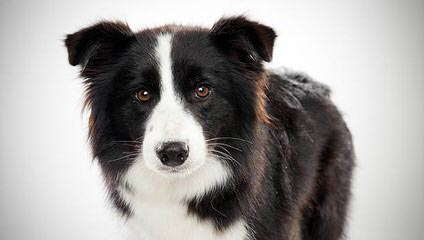 Rupproaring Border Collies - Dog Breeders