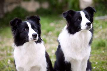 Wall 2 Wall Border Collies - Dog and Puppy Pictures