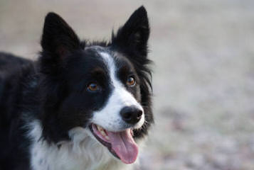 J. Mil Border Collies - Dog Breeders