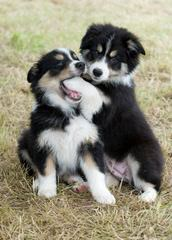 Visions Border Collies of Texas - Dog Breeders