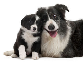 FLAT CREEK BORDER COLLIES - Dog Breeders