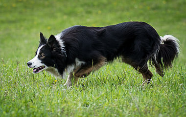 Seven Links Ranch Border Collies - Dog Breeders