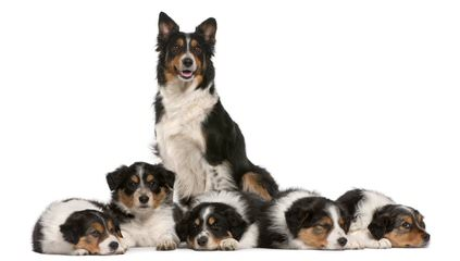 Basinbordercollies - Dog Breeders