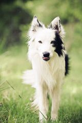 FLAT CREEK BORDER COLLIES - Dog and Puppy Pictures
