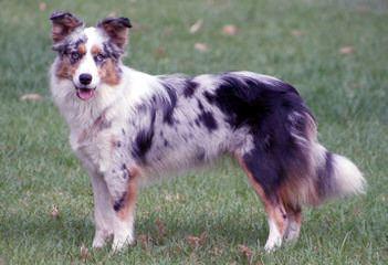 Enchantment Roadrunner Border Collies - Dog Breeders