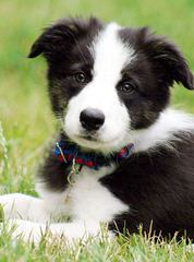 Flame of Phoenix border collie kennel - Dog Breeders