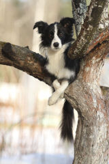Painted Stars Farm Border Collie - Dog Breeders