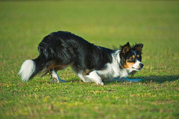 Robatife Border Collies - Dog Breeders