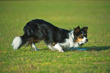 Jordyalan Border Collies - Dog Breeders