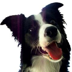 Red River Border Collies - Dog Breeders
