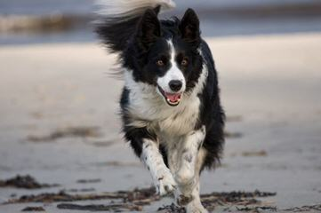 Kiltaire Border Collies - Dog and Puppy Pictures