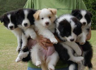 Border Collie Stud Wanted - Dog Breeders