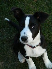Painted Stars Farm Border Collie - Dog Breeders