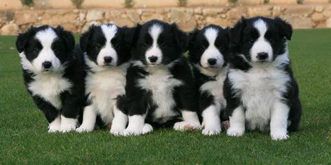 David's Abc's - Dog Breeders