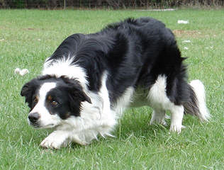 Border Collie Pups - Dog Breeders