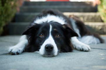 Robatife Border Collies - Dog Breeders