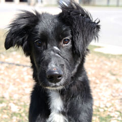 Rupproaring Border Collies - Dog and Puppy Pictures