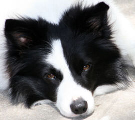 Enchantment Roadrunner Border Collies - Dog Breeders