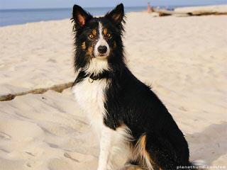 K&T Border Collies - Dog Breeders