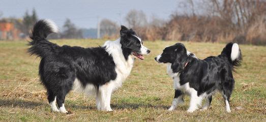 Basinbordercollies - Dog Breeders