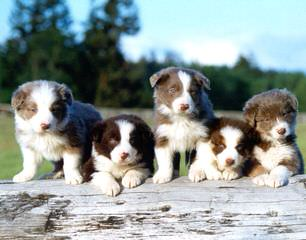 Show Me Border Collies - Dog Breeders