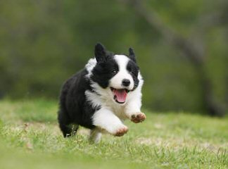 Kiltaire Border Collies - Dog Breeders
