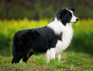 Arizona Border Collies - Dog Breeders