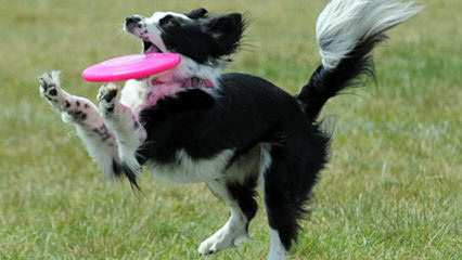 Show Me Border Collies - Dog Breeders