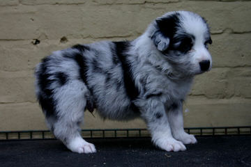 Tomasz Pecold - Dog Breeders