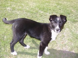 Robatife Border Collies - Dog and Puppy Pictures
