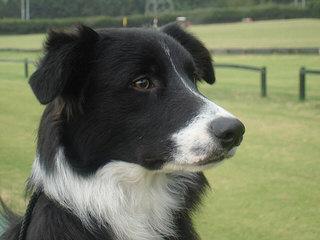 Riverrun Border Collies – Michigan, Usa - Dog Breeders