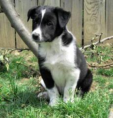 Highland Kennels Border Collies And Australian Kelpies. - Dog Breeders