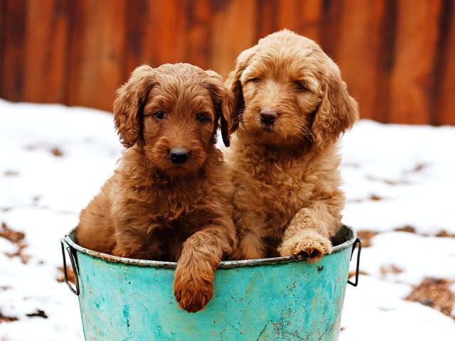 Bordoodles Dogs and Puppies